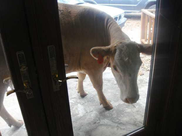 Cows visit at Caro Drive